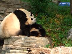 Tai Shan snuggling with Mama (desbah) Tags: zoo panda meixiang taishan