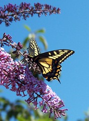 Butterfly in the Sky (~Dezz~) Tags: flower macro nature animals butterfly bug insect swallowtail butterflybush tigerswallowtail 5hits