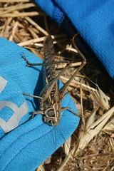 Giant grasshopper on Nicolai's jersey (Nicolai Bangsgaard) Tags: turkey favourites wt 26jul06