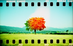 a tree glows in brooklyn (hessiebell) Tags: tree film 35mm holga xpro crossprocess toycamera experiment kodake100vs jerichobeach sprocketholes nuttymuffincom thankyouchristopher vandigipicnic