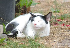 Rob the Boss (friedkampes) Tags: summer cat fried felisdomesticus robje kampes friedkampes