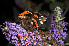 "Red Admiral Butterfly (vanessa atalanta) On Buddleia (Butterfly Bush) • <a style=""font-size:0.8em;"" href=""http://www.flickr.com/photos/57024565@N00/201673143/"" target=""_blank"">View on Flickr</a>"