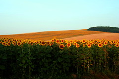 u bratankw (Lilithu) Tags: summer nature europe hungary border sunflowers leeloo landskape magyarorszg iloveit twtmeiconoftheday