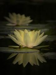 Water Lily Spotlight