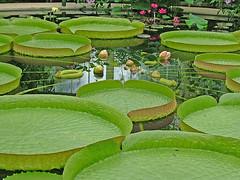 Emergent Beauty (Stuart's Photos) Tags: england kewgardens london wow geotagged lotus explore stuartsphotos waterlilyhouse brillianteyejewel stuartpalmer geo:lat=51479629 geo:lon=0290017