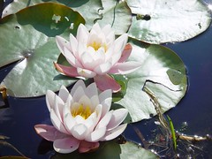 In the Taraloka pond