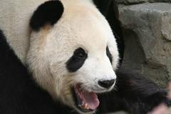 Happy Tian (somesai) Tags: panda tian tai nationalzoo endangered pandas tiantian meixiang mouthopen taishan dczoo butterstick 34f pandaunlimited