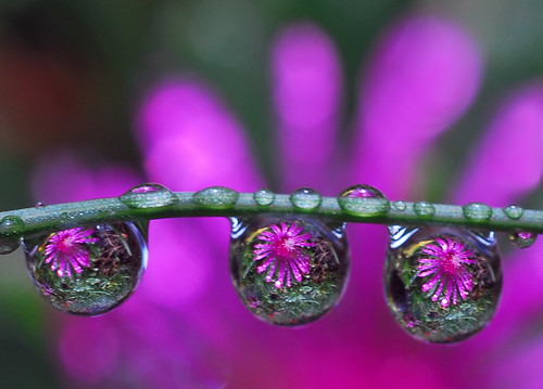 creative commons hi-res photo of the day:  drops of purple petals (1367 x 981)
