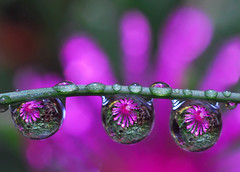 drops of purple petals - by Steve took it