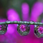 drops of purple petals