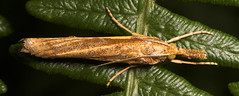 "Grass Moth • <a style=""font-size:0.8em;"" href=""http://www.flickr.com/photos/57024565@N00/209881183/"" target=""_blank"">View on Flickr</a>"