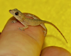 In Memory Of Steve Irwin... (Bill Adams) Tags: baby hawaii hand reptile lizard explore getty gecko waikoloa 3waychallenge abigfave steveirwintribute mourninggecko lepidodactyluslugubris