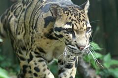 Clouded Leopard (tim ellis) Tags: animal cat leopard carnivore cloudedleopard santago neofelisnebulosa hc0308 hc03088 msh0216 msh02163