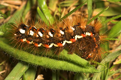 "Knotgrass Caterpillar (acronicta rumi(2) • <a style=""font-size:0.8em;"" href=""http://www.flickr.com/photos/57024565@N00/210937542/"" target=""_blank"">View on Flickr</a>"
