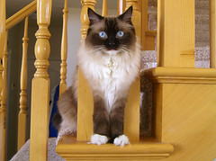 Stairing (janoid) Tags: cat blueeyes explore daffodil ragdoll abigfave cat500 cat2800