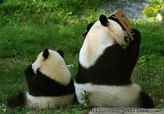 Like mom like son (somesai) Tags: back panda box tian tai hide nationalzoo curious endangered mx ts pandas meixiang taishan dczoo butterstick pandaunlimited