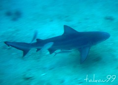 Grey Reef Shark at Koh Tao Island, Thailand