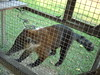 Tejon (ChaskiTB) Tags: animal tejon cashibo pucalpa