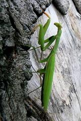 ~Praying Mantis~ (~Sage~) Tags: green animal bug sage top20nature prayingmantis