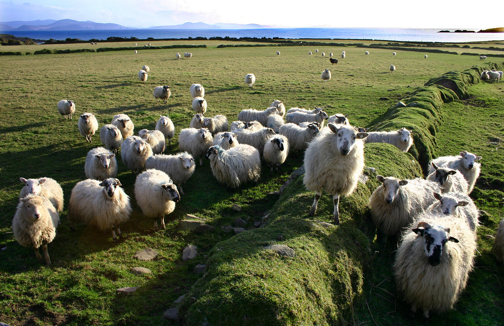 The Pied Piper Of Sheep. Ireland.