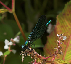 "Beautiful Demoiselle Damselfly (calopteryx virgo) • <a style=""font-size:0.8em;"" href=""http://www.flickr.com/photos/57024565@N00/230029415/"" target=""_blank"">View on Flickr</a>"