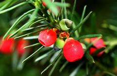 yew berries - by Muffet