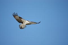 Osprey (kidbirder) Tags: