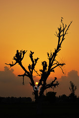 The Sunset, The Tree & The Bird (AR's Photography) Tags: sunset silhouette evening lowlight countryside village nature sialkot pakistan nikond5200 tree oldtree clouds orange bird