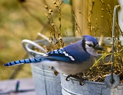 bluejay with buckets