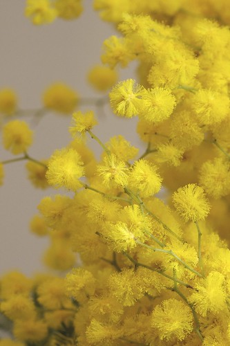 Wattle (or Mimosa)