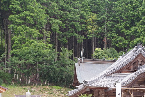 Japanese Cedar (Cryptomeria japonica)