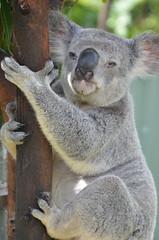 Coco le Koala