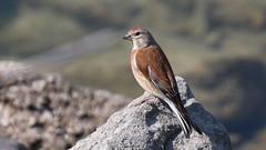 Linotte mlodieuse, Am, n (Der, 2014-05-30_2) (th_franc) Tags: oiseau linottemlodieuse