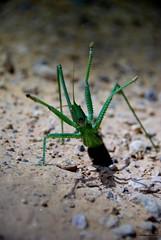 Magicienne dentele - Saga pedo (Mathias Dezetter) Tags: animal fauna insect wildlife animaux insecte sauterelle dfense intimidation faune prdateur arthropode orthoptre invertbr dfensive