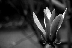 P1110737 (sally_tregear) Tags: flowers trees blackandwhite plants nature rain gardens spring