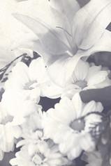 Flores en blanco y negro (Valle Siles) Tags: life flowers naturaleza flores flower tallo texture textura primavera blancoynegro nature beauty leaves garden tristeza blackwhite leaf petals spring stem soft quiet shadows darkness air flor jardin natura petal vida polen stems pollen delicate breeze botany drama sombras suave botanica belleza allergy aroma oscuridad brisa petalo tranquilo petalos fragance alergia olor delicado fragancia