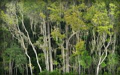 The Woods (gatorgalpics) Tags: florida gainesville paynesprairie inexplore willistonroad explore460 sweetwaterwetlandspark gainesviillesnewestpark