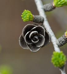 Tamarack (Larix laricina) (wackybadger) Tags: tree wisconsin nikon cone tamarack larixlaricina nikond60 bayfieldcounty wisconsinstatenaturalarea nikon105mmf28gafsmacro11vr barkbaysloughsna sna137