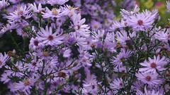 Rouen - Jardin des Plantes - Asters d'automne (jeanlouisallix) Tags: flowers france seine fleurs garden parks rouen maritime normandie parc asters haute