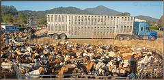Headed For Greener Pastures (Romair) Tags: truck semi goats marincounty goatherd cortemaderamarsh rogerjohnson