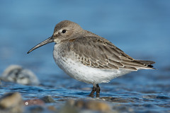 """""""Dunlin"""" (Jesse_in_CT) Tags: dunlin tamron150600mm"""