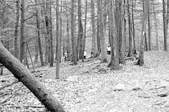 Amongst the Trees. (bblhed) Tags: bw film geocaching kodak hiking letterboxing d76 girlscouts tmax400 watertown brownies nikonfa nikkor50mmf14 bluetrail homeprocessed mattatucktrail blackrockstatepark cfpa 64072 naugatuckrivervalley gc1b90j browniesmilecache wolverienscanner