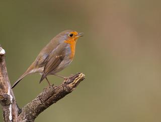 Robin: Erithacus rubecola (Explored)