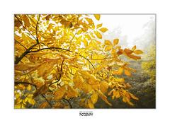if you leave me now... (Zino2009 (bob van den berg)) Tags: autumn color nature wet leaves fog germany leaving gold pond meer soft natural bagno steinfurt chessnut bobvandenberg zino2009