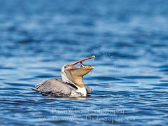 Brown_pelican_Salton_Sea_2015_4 (DawnWilsonPhotography) Tags: california food fish bird water eating flip brownpelican saltonsea gulp