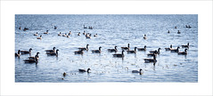 Flotilla (lclower19) Tags: birds geese pond pano massachusetts flock canadian frame gathering woburn hornpond promptaddicts