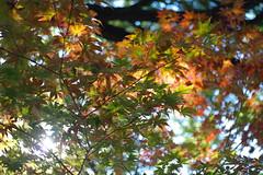 Zeiss Tessar 42mm F2.8 (odinisamu) Tags: leaves carlzeiss tessar adaptedlens samsungnx10 voigtlandervitessa500se