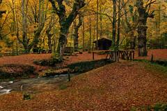 Otoñal (Marce Alvarez.) Tags: nikon bosque otoño cantabria ucieda nikon2470 marcealvarez