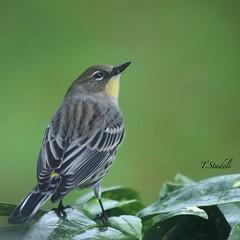 Yellow Rumped Warbler, Setophaga coronata (Tina Stadeli) Tags: