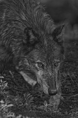 Wolf (Cruzin Canines Photography) Tags: animal animals canon canine canoneos5dmarkiii ef100400mmf4556lisusm blackandwhite monochrome wildlife wild wildanimal mammal wolf wolves colorado coloradowolfandwildlifecenter outdoors outside nature naturallight naturepreserve